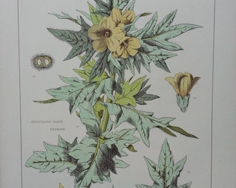 Botanical Print 1874 Henbane F Edward Hulme Original Authentic Antique RARE 139 years old - Plus Certificate of Authenticity