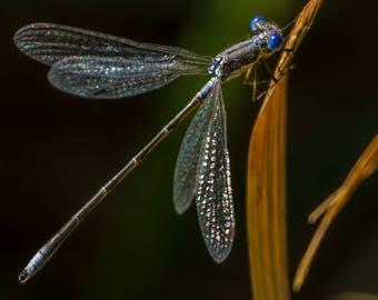 Common Spreadwing Damselfly.