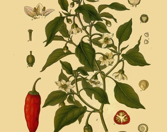 antique botanical print chili peppers illustration digital download
