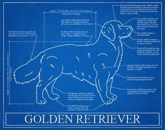 Golden retriever blueprint elevation golden retriever art malvernweather Gallery