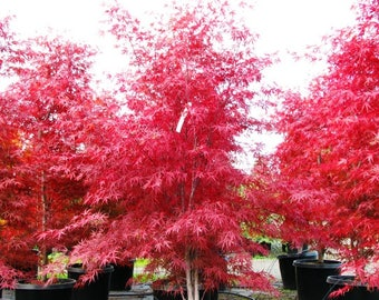 Japanese Maple Seeds-Beni Otake(Red Bamboo) Fresh 25 seeds-Rare-Grown In Canada.