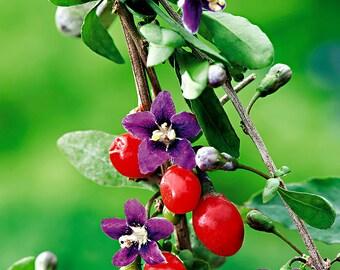 Goji berry - 100 seeds - Lycium barbarum