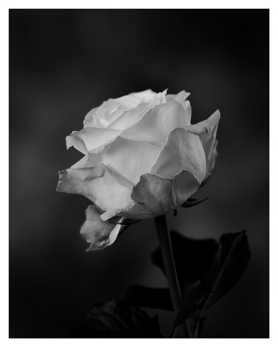 Rose photography, Macro photo, Black and White, Wall decor, 5x7 8x10, Wall Art, Home Decor, fine art photography, flower photography
