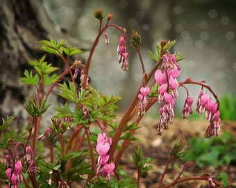 Edge of the Faerie Lands - Bleeding Hearts Woodlands Photo