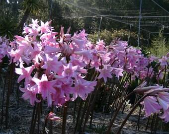 Naked Ladies - Amaryllis belladonna - Seven Bulbs - Best Deal - For Summer Flowers