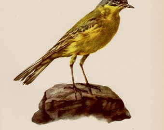 Vintage Bird Print Library Decor Yellow Wagtail Bird Gallery Wall Art Vintage Animal Print Gift for Bird Lover 1721