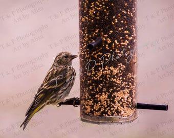 BIRD, bird photo, bird photography, wildlife picture, wall art, Pine Siskin bird, home decor, fine art, LOW SHIPPING cost, nature photo art