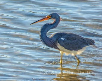 Tricolored Heron Wading - Photographic Print
