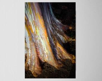"Tree Art, Rainbow Eucalyptus Tree, Hawaii Art, Tree Photography, Hawaiian Print, Gum Tree, Hawaii Wall Decor, Hawaii Tree Art - ""Grounded"""
