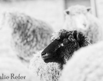 Sheep photography, sheep pictures, modern country