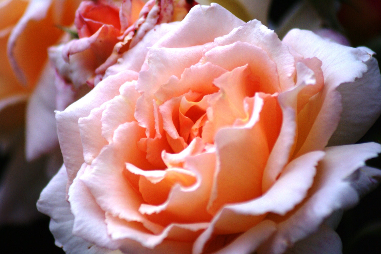 Flower print Peach print Colour print Wall Art Home