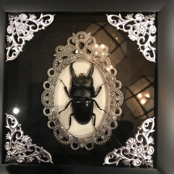 Taxidermy dorcus beetle display! Real!