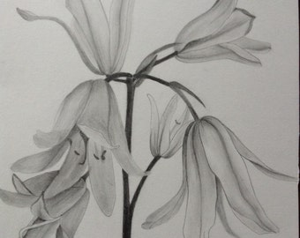 Original drawing of a bluebell,graphite on A4 card.