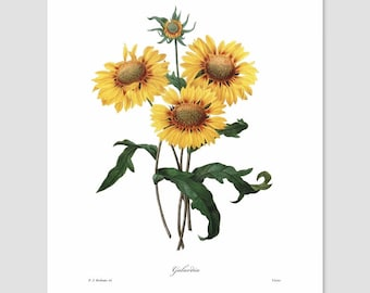 Sunflower Art (Yellow Nursery Print, Cabin Loft Wall Decor, Country Bedroom, Cottage Chic Home Office, French Garden Artwork) Pierre Redoute