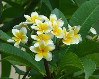 Plumeria seeds (frangipani) / 5 fresh seeds