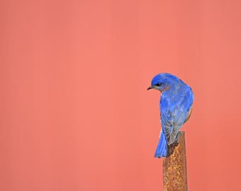 Bluebird, Red Barn