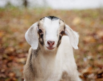 baby goat photography, rustic home decor, farmhouse decor, farm photography, nursery art, rustic wall art, country home decor