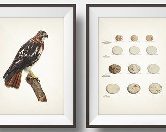 Red Tailed Hawk and Hawk Eggs Print Pair - BI-14 EG-07 - Fine art print of a vintage natural history antique illustration