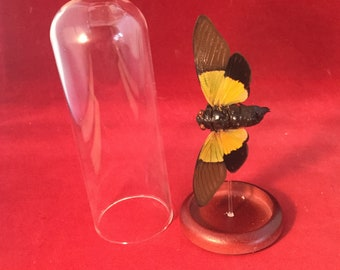 B-11   Large Entomology Taxidermy Locust Cicada Specimen Glass Dome Display insect