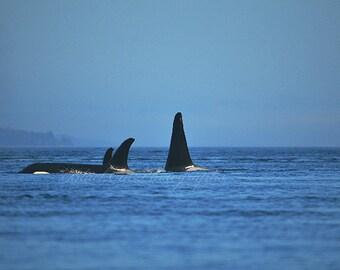 Orca Whale Photo Art, Ocean Photography, Pacific Northwest, Marine Life West Coast, Killer Whale, Wild,Black Fish, Ocean Photo Print, 11x14