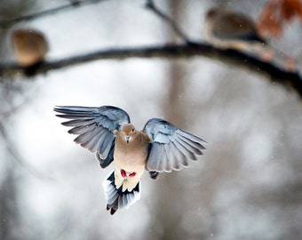 The Art of Staying Aloft, Mourning Dove, Doves, birds flying, woodland animals, winter photographs, wall art, bird photography print