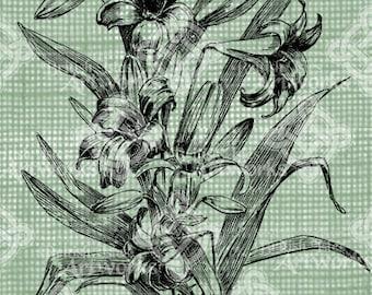Digital Download Daylily Patch, Hemerocallis, digi stamp, digital stamp, Beautiful Daylilies, Antique Flower Illustration, transparent png
