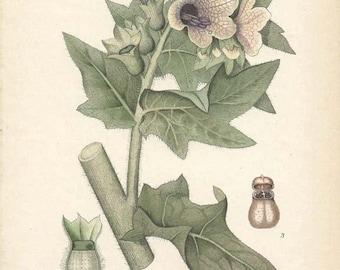 HENBANE or STINKING NIGHTSHADE 1905 Botanical Book Plate 110