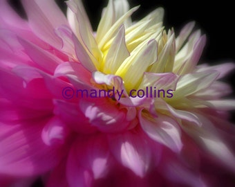 Bright Pink Chrysanthemum is a fine art print of a beautiful chrysanthemum flower close up. Photography by Mandy Collins