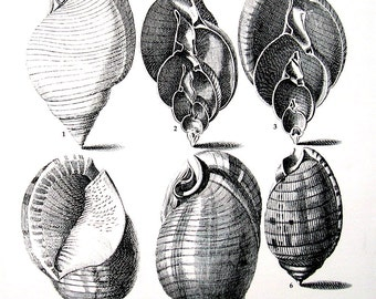 Shells Print - Bonnet Shells - Vintage 1979  Book Page - Black and White