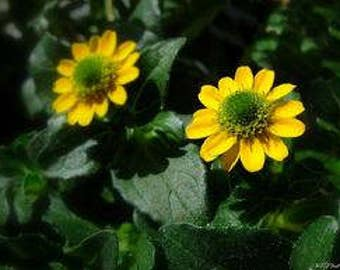 Mini Sunflower Zinnias