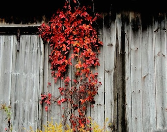 Red Leaves Photograph - Rustic Barn - Autumn Vines - Nature Art - Fall Foliage - Nature Tones - Barn Photograph - Autumn - Nature Photograph