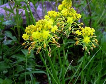 10 Bulbine abyssinica Seeds,  bushy bulbine Seeds,  For Germination