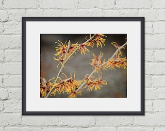 Nature Print - Botanical Photo - Witch Hazel Plant - 8x10 Photo - Winter Flower Photography - Floral Home Decor - Orange and Yellow Art