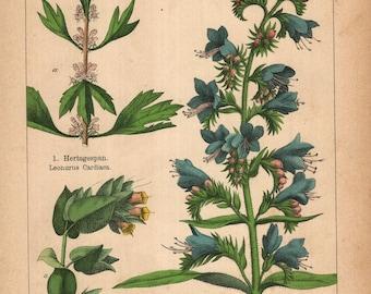 beautiful antique botanical print of echium vulgare  viper's bugloss blueweed  cerinthe major Honeywort 1898