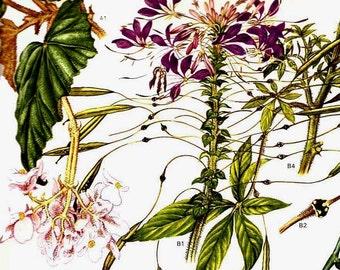 Begonia Cleome Spider Flower Central South America Botanical Exotica 1969 Vintage Illustration To Frame 174