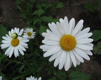 Shasta Daisy Seeds - Leucanthemum superbum - Perennial