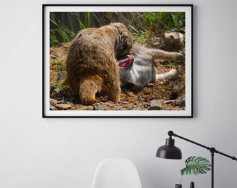 Meerkat Wall Art, Wildlife Photography, Print, Canvas, Meerkat Photography, Nature Photo, Wildlife Wall Art, Fighting Animals, Animal Teeth