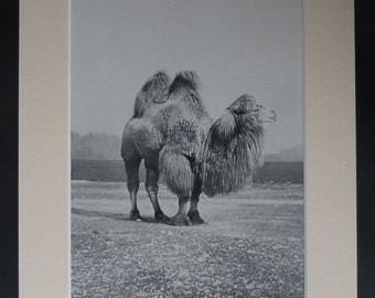 1901 Antique Bactrian Camel Print, Asian decor, Central Asia Gift, Animal Photography, Old Desert Picture, Available Framed, Wildlife Art