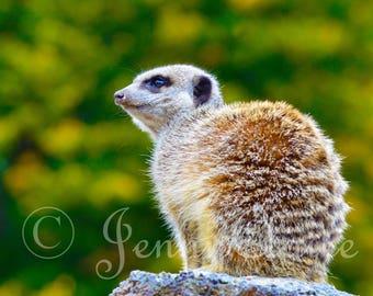 meerkat digital download photography