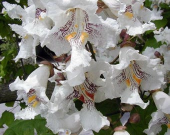 LIVE Northern Catalpa Tree Seedling Starter Plug 6-10+ Inches Catalpa speciosa