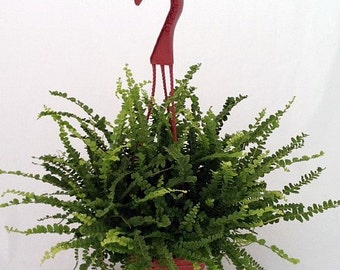"Lemon Button Fern 6"" Hanging Basket - Nephrolepis  (FREE SHIPPING)"