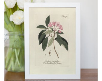 "Vintage illustration of Mountain Laurel - framed fine art print, flower art, 8""x10"" ; 11""x14"", FREE SHIPPING - 115"