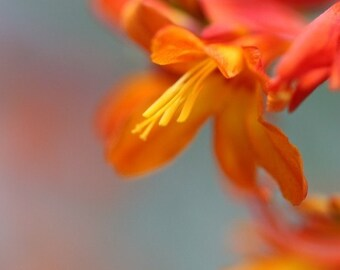 Summer Heat - Floral Photograph - Crocosmia Flower Print in Orange on Aqua - 4x6, 5x7, 8x10, 11x14, 16x20