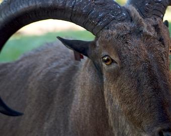 Aoudad (Barbary Sheep) Portrait - Glen Rose TX - 11x14