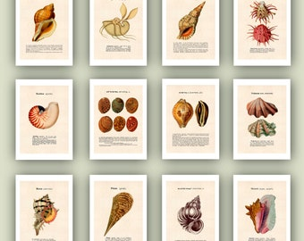 Seashell Art, Set 12 Sea shells Print 5x7, Educational Collection shells, Scientific print, Nautical Art, ocean beach cottage decor, sealife