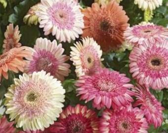 ADGCW) CARTWHEEL STRAWBERRY Gerbera Daisy~Seed!~~~~~Beautiful Double!!