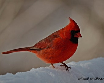 Bird Photography, Cardinal, 8x10 or any size, Male Cardinal Photos, Cardinal in snow, Nature Photography, Red Cardinal, Backyard Birds