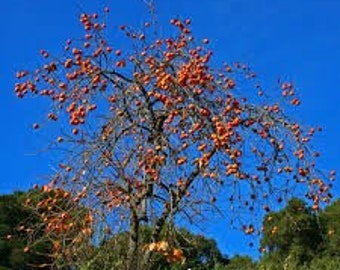 One Persimmon and One paw paw tree! Fruit trees, live trees