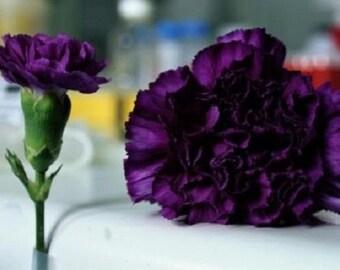 30+ King of Blacks Carnation / Perennial Flower Seeds