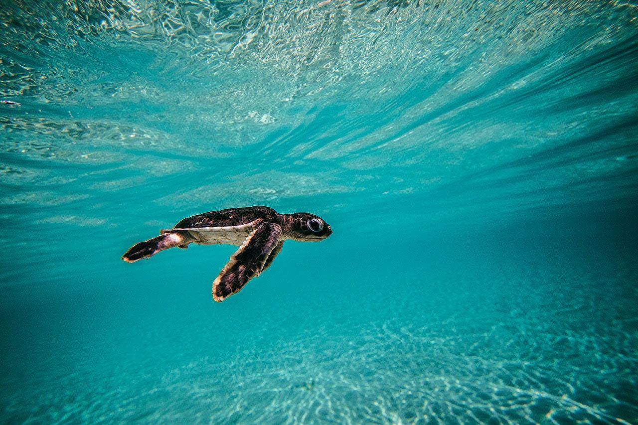 Blue baby turtles - photo#34